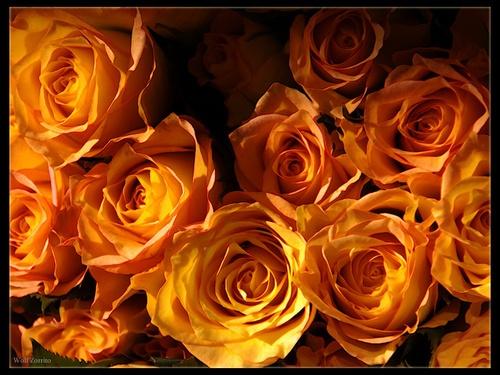 Roses for Sandra by Zorrito