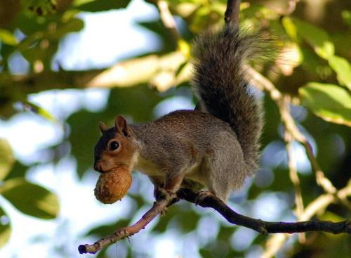 Squirrel and walnut by KevinJM