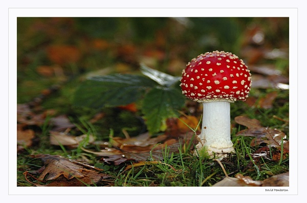 Fly Agaric by dpemberton