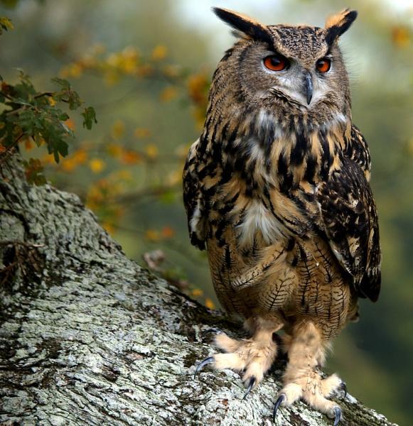 Merlin - European Eagle Owl by bppowell