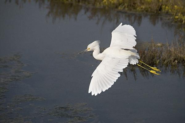 Snowy Egret 2 by gajewski