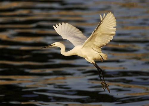 egret by john4