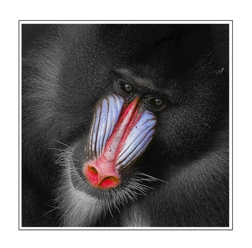 Alpha Male Mandrill by abtuie