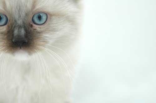 Ragdoll Kitten by sophee