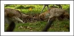 Fallow Deer Rut