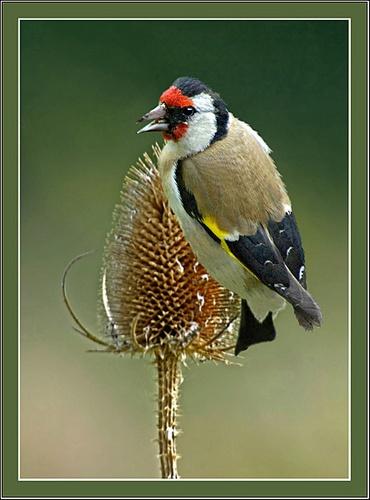 Goldfinch by Hawkgenes