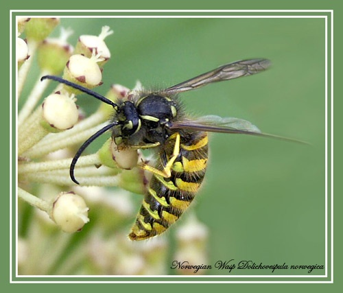 Large Wasp by Ajack
