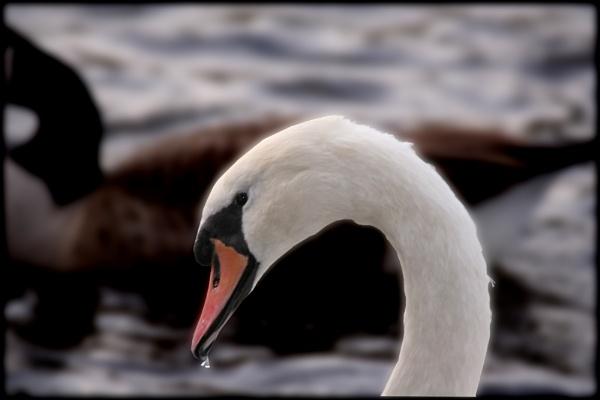 Coy Looking Swan by mickf1