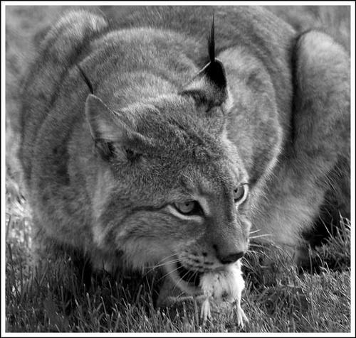 Lynx - It does work on chicks! by nikguyatt