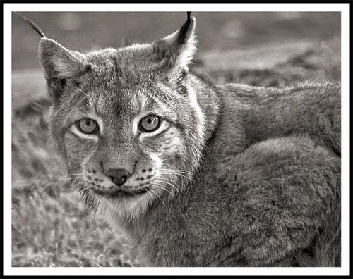 Lynx II by nikguyatt