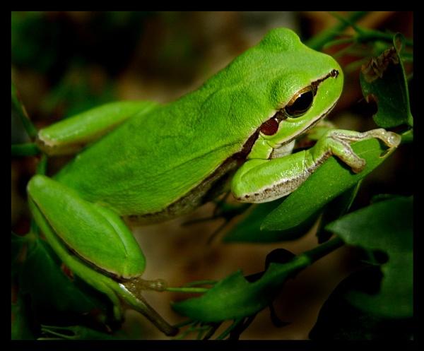European Green Tree Frog Prince by exposure