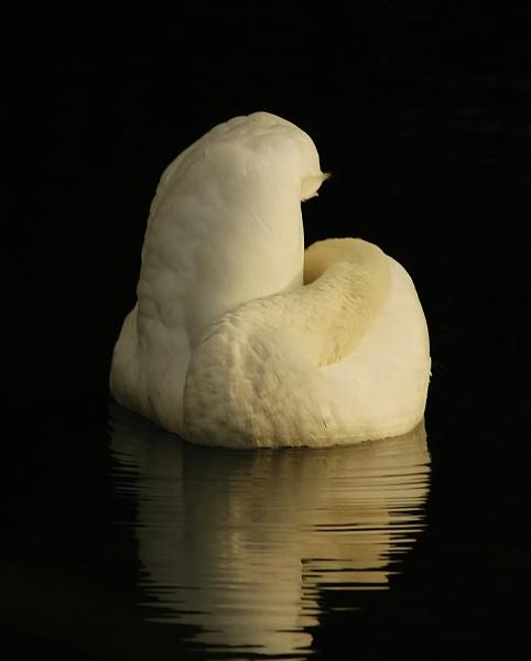 Sailing Swan by faulknerstv