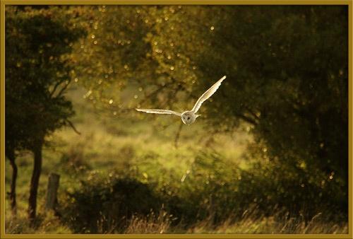 Barn Owl by P181