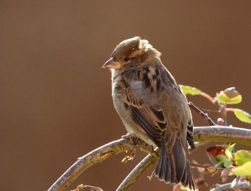 Sparrow by LeighPerring