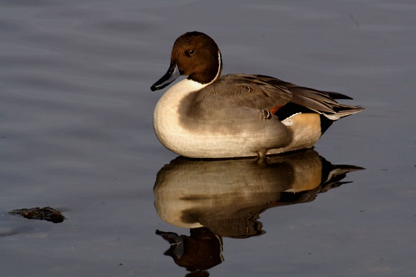 Pintail by casson