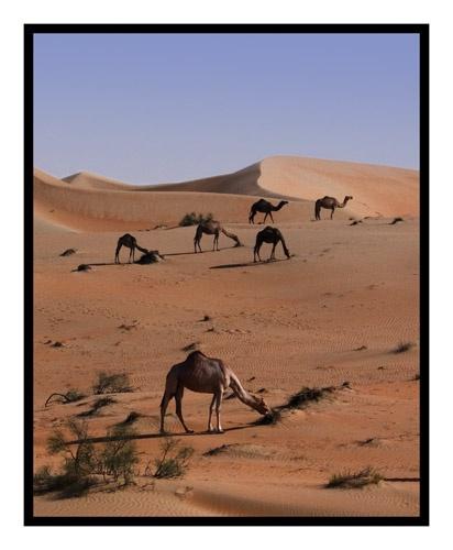 Desert + Camels by PAllitt
