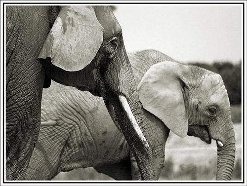 Elephant by nikguyatt