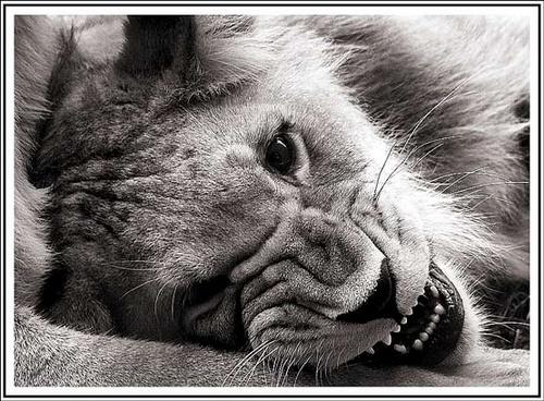 Lion Cub by nikguyatt
