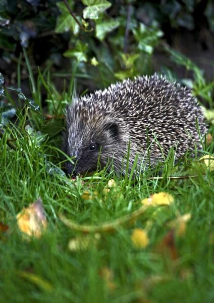 Hedgehog by dave knowles