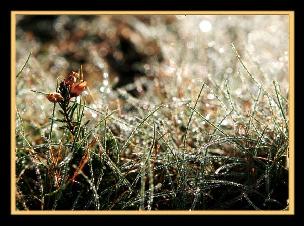 Dew by suejoh