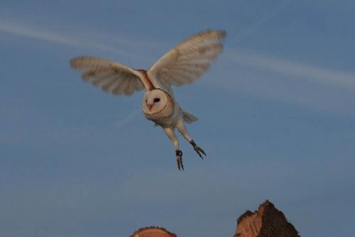 Barn Owl by LeighPerring