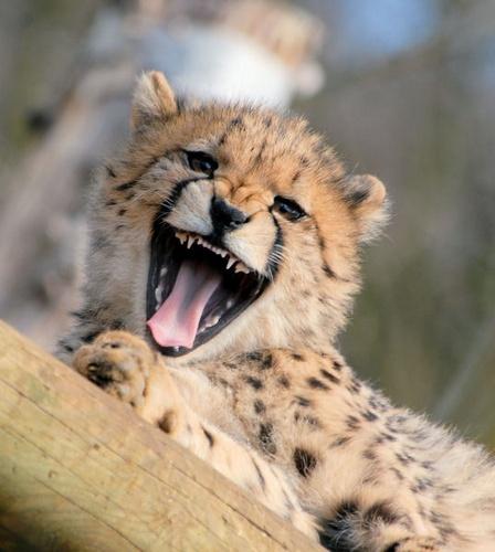 Cheetah cub! by AllyBoy