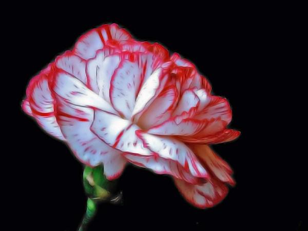 Carnation by Ricardos