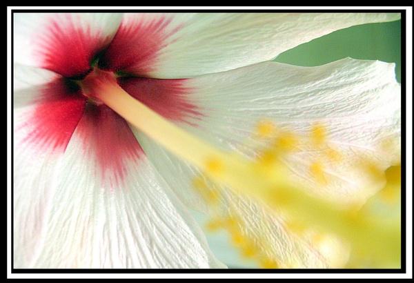 Hibiscus Detail by jimbo75