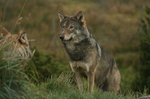 Wolf by Gomez