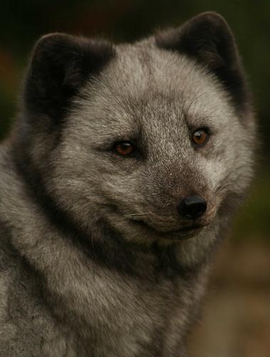 Artic Fox, Profile by Gomez