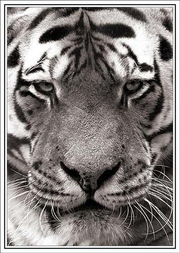 Tiger by nikguyatt