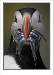 Puffin & Sand Eels'