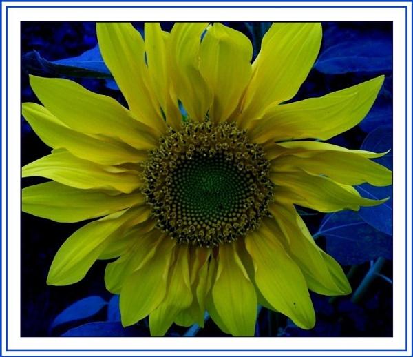 Sunflower by daringdaphne
