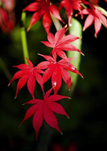 Acer by dave knowles