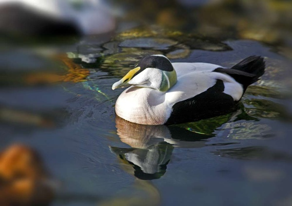 Eider reflections by dave knowles
