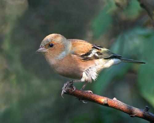 Finch by pcjackso