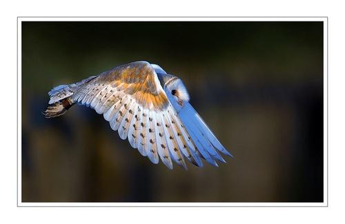 Barn Owl in Flight (c) by VinceJones