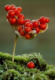seed pod berries
