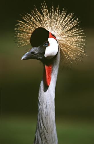 Crested crane by BRIGHTon_SPARK