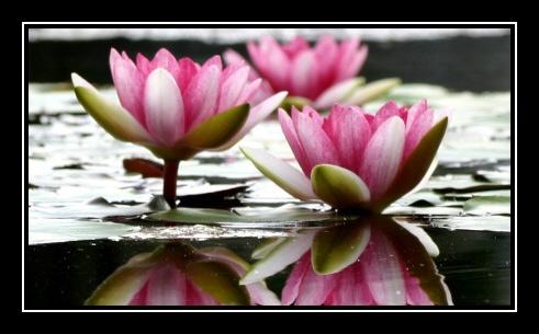 Water Lilies by jonlonbla