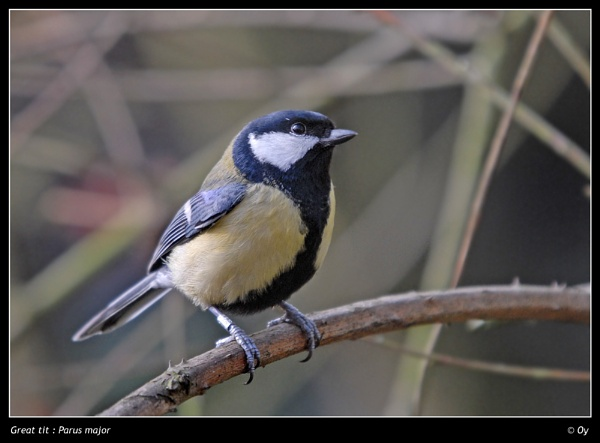 Great Tit by Oy_bumbler