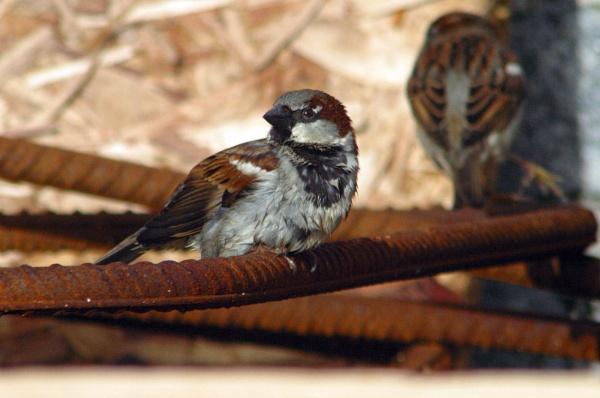 sparrow by Blueprint