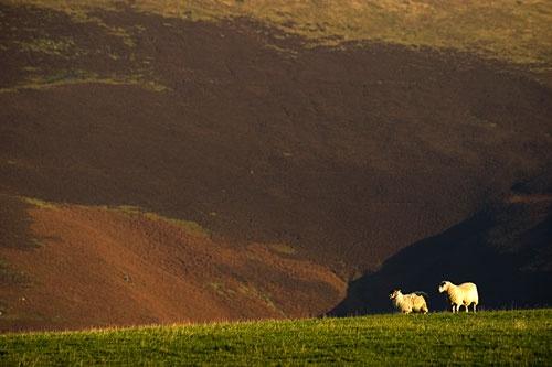 derwent sheep by john thompson