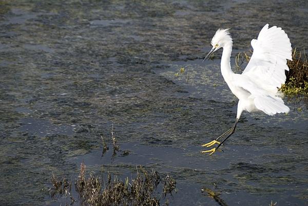 Egret 3 by gajewski