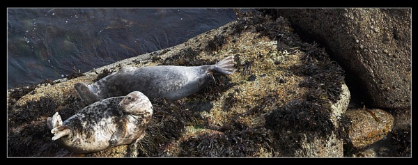 Lundy Seals by MattB