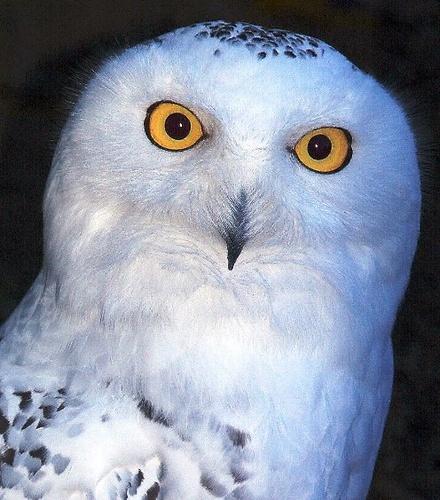 Snowy Owl by andygibb