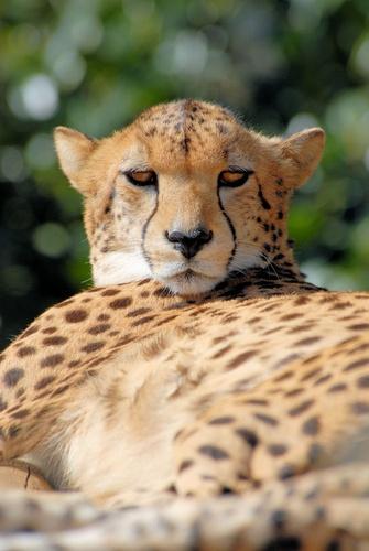 Cheetah by AllyBoy