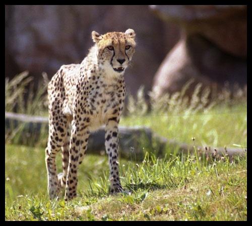 Cheetah by VolcanoCowboy