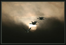 Geese in the sunlight