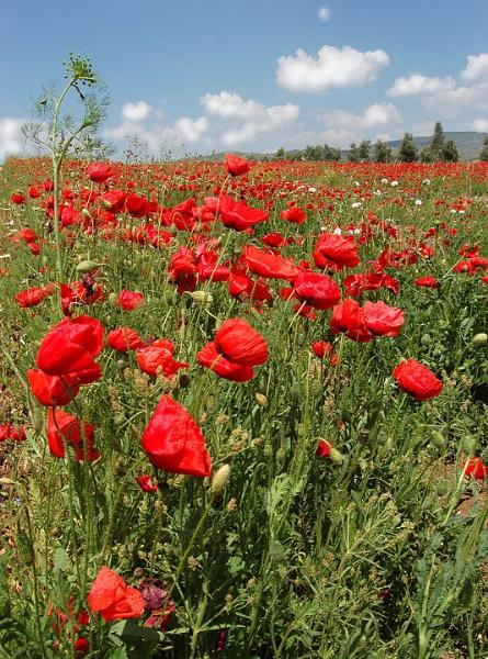 Poppy field by BrianSS